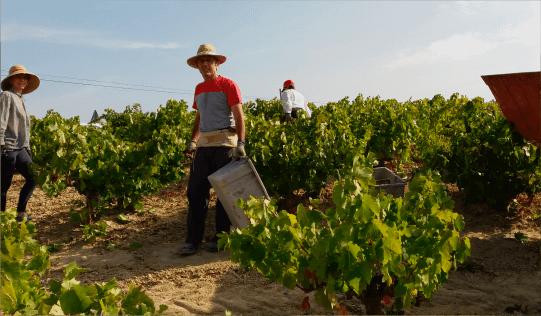 procesos de la uva de montilla-moriles