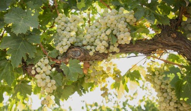 otras variedades de uva montilla-moriles