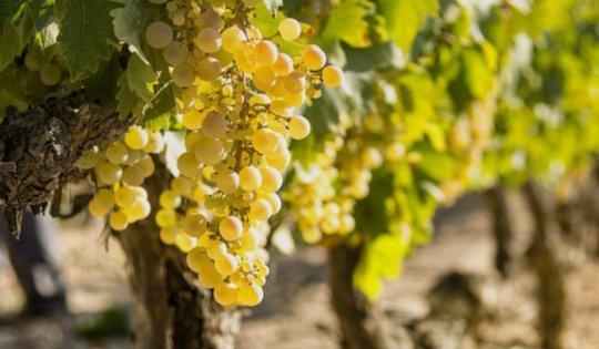 la uva de montilla-moriles