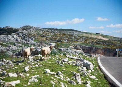 ovejas pastando Cabra we love montilla moriles cordoba