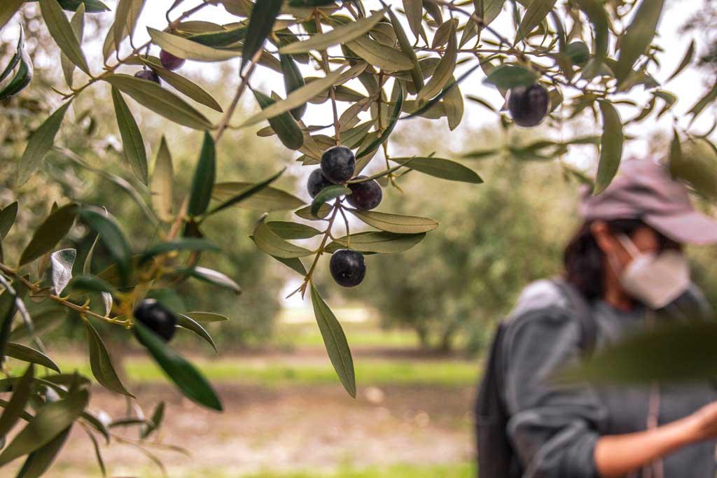 olivar we love montilla moriles cordoba