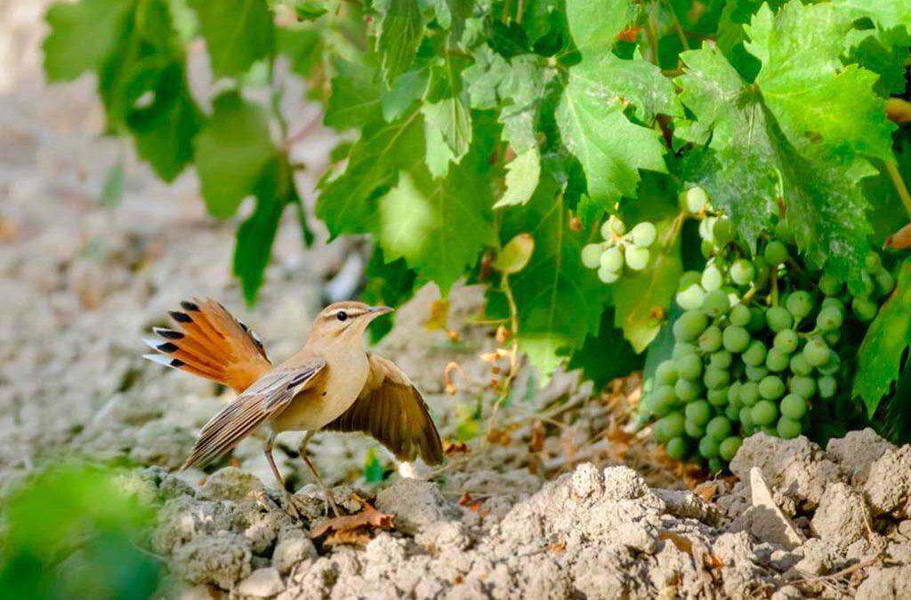 El Alzacola, un ave símbolo de la biodiversidad en Montilla-Moriles