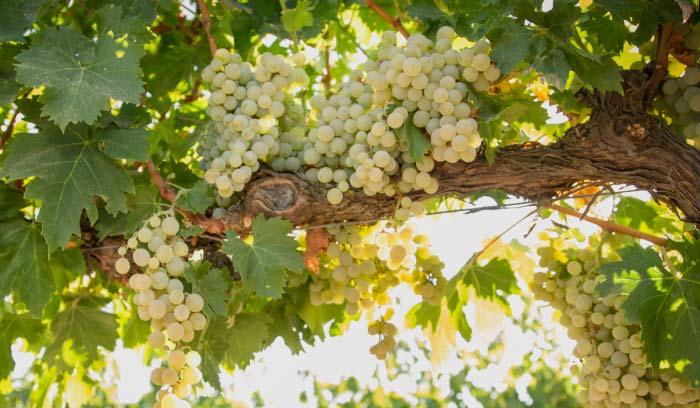 otras-variedades-de-uva-córdoba-we-love-montilla-moriles