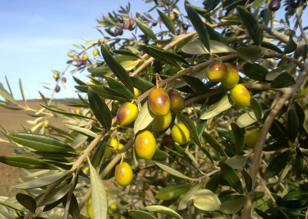 variedad de aceituna pajarera - We Love Montilla Moriles