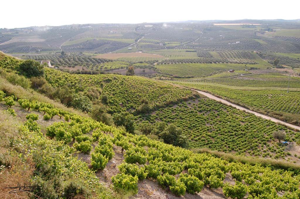 Paisaje viñas Francisco Méndez - We love Montilla Moriles