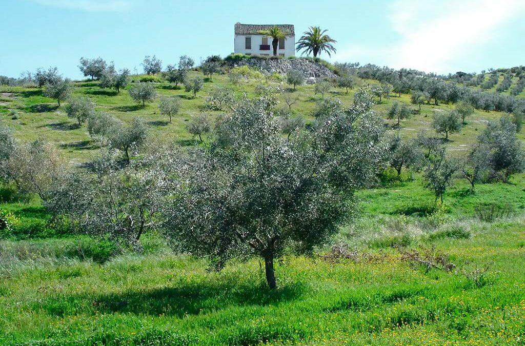 Córdoba, el paraíso del aceite de oliva «pajarero»